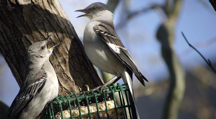 mockingbirds on suet feeder