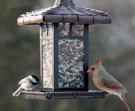 chickadee eating with cardinal bird