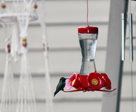 annas hummingbird sitting on feeder