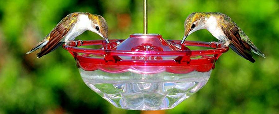 hummingbirds eating at a hummingbird feeder