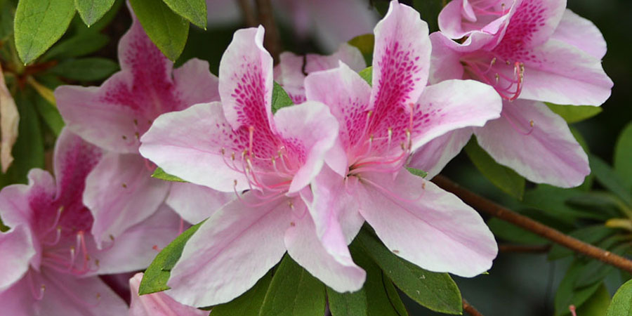 pink azalea flower blooming