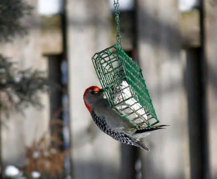 big woodpecker on small feeder