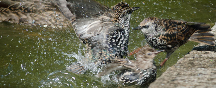 birds splashing around