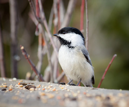 black capped chickadee eating birdseed