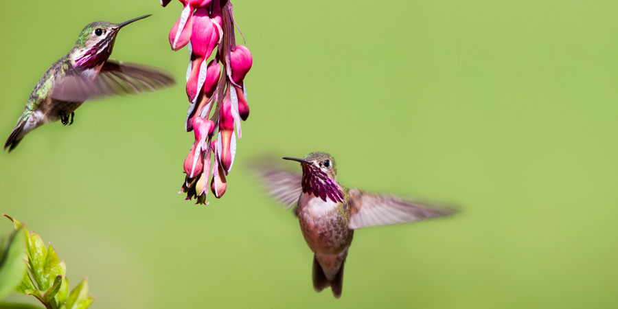 bleeding heart flowers attract hummingbirds