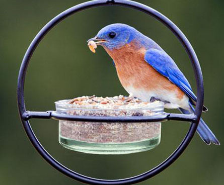 bluebird eating mealworms at feeder