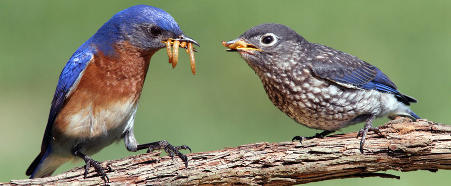 male bluebird feeding baby bluebird
