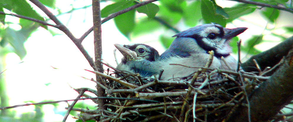 blue jays in a nest