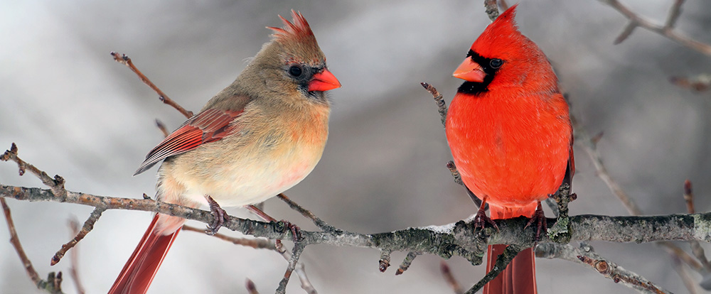 pair of cardinal birds on a feeder