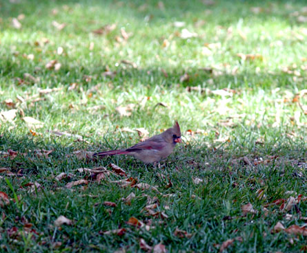 female cardinal bird in the grass