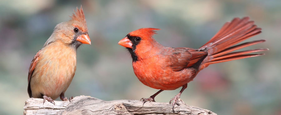 pair of red cardinal birds