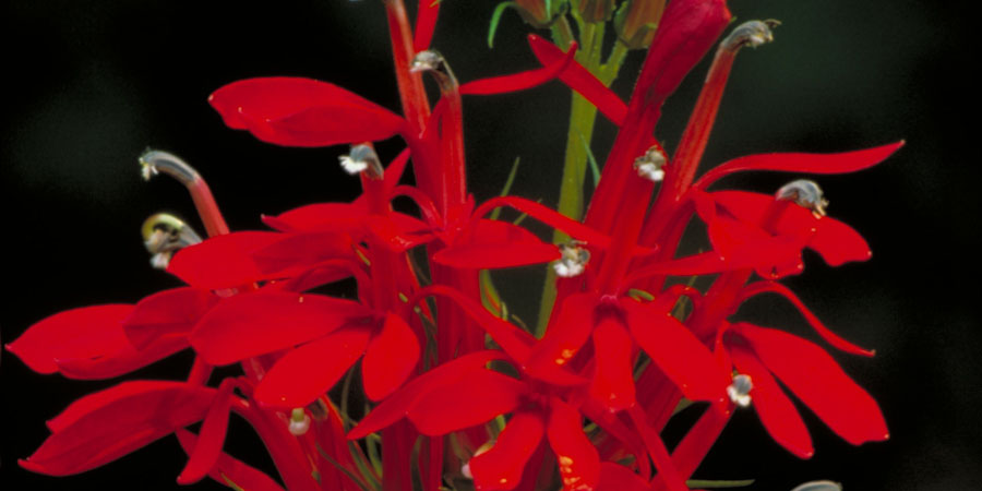 red blooming cardinal flower
