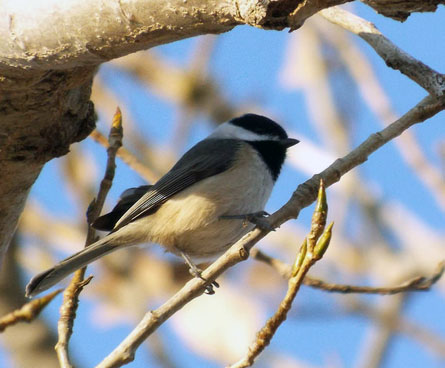 carolina chickadee on a tree branch
