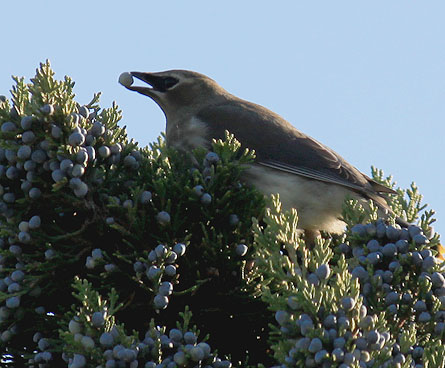 hungry cedar waxwing bird