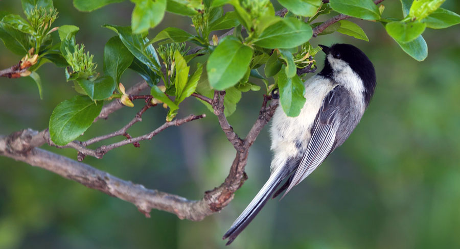 chickadee hanging upside down