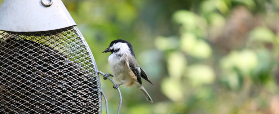 chickadee with bird seed in his mouth