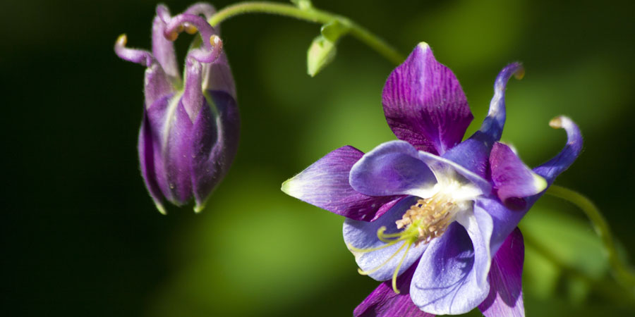 purple columbine flower with blooms