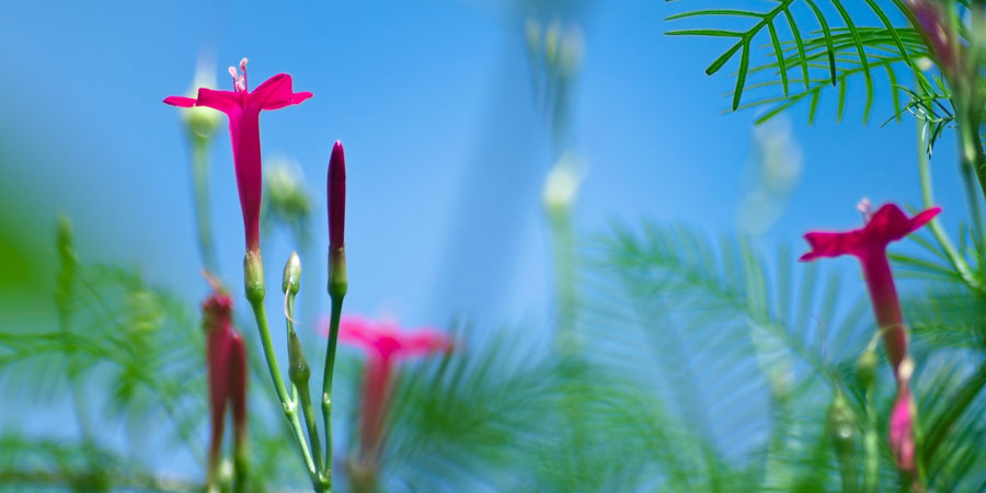 blooming cypress vine flower