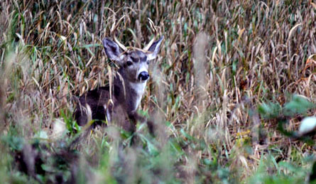 buck deer in the bushes