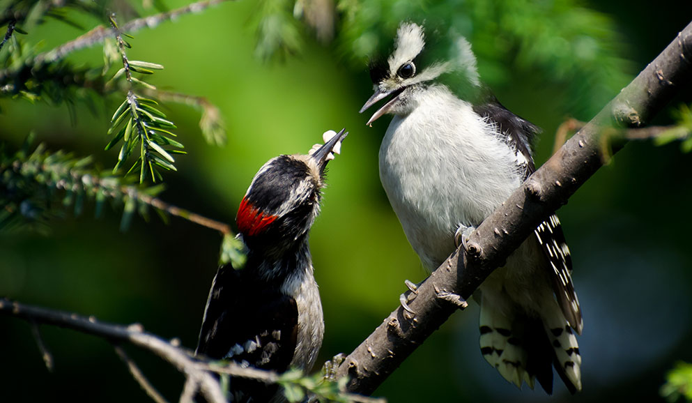Downy Woodpecker feeds its young