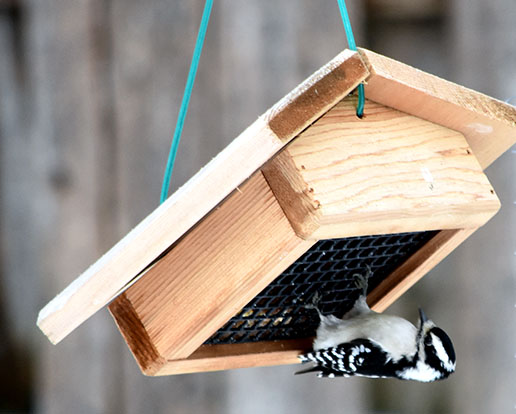 downy woodpecker at upside down suet feeder