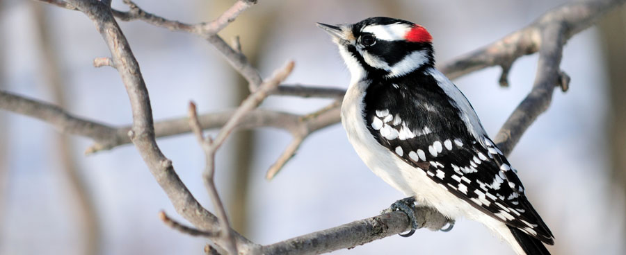 downy woodpecker looking ahead