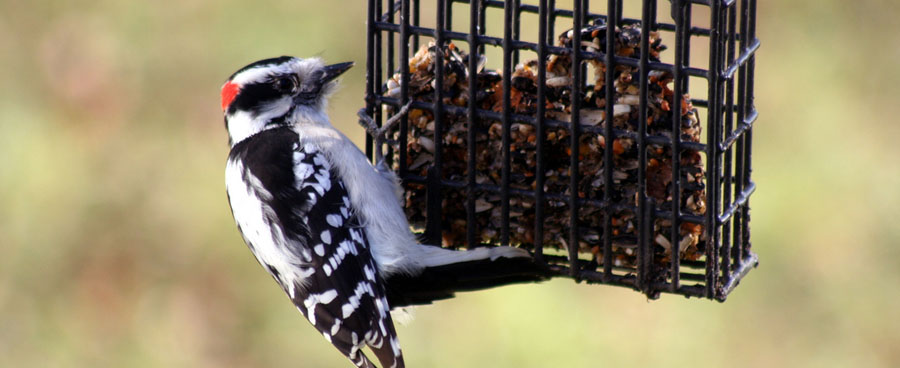 close up of downy woodpecker at feeder