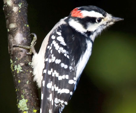 downy woodpecker clinging to a tree branch