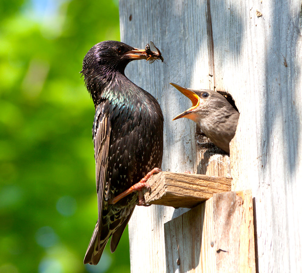 starlings in a bird house
