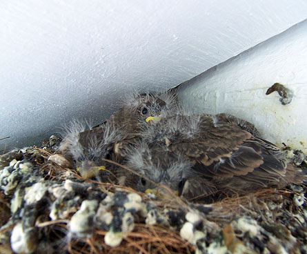 fluffy baby birds in a nest