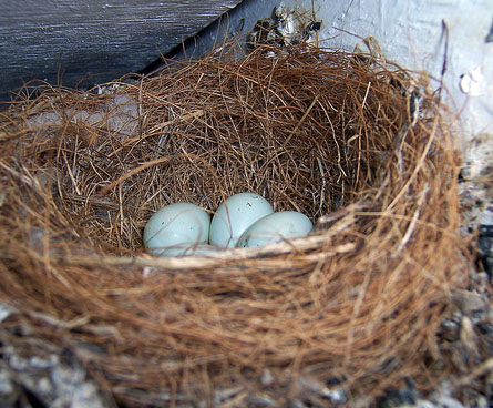 birds nest with eggs inside