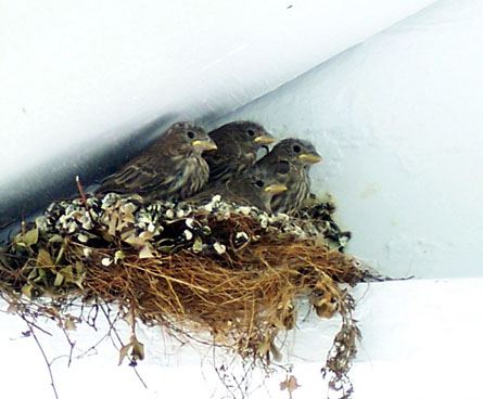 juvenile birds still in the nest