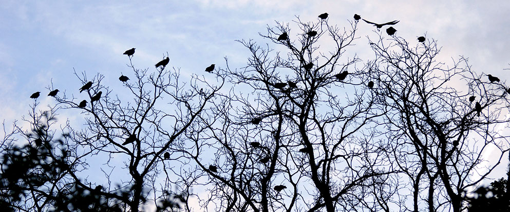 flock of crows in a tree
