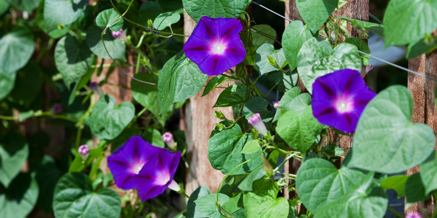 climbing morning glories
