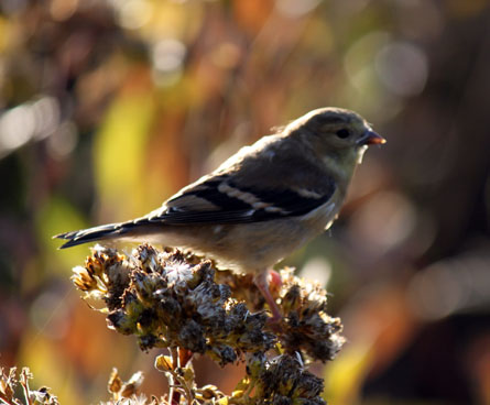 wild goldfinch bird