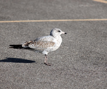 juvenile ring billed gull