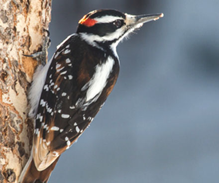 hairy woodpecker hanging on a tree