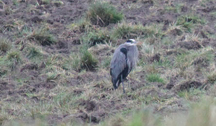 heron bird on the ground