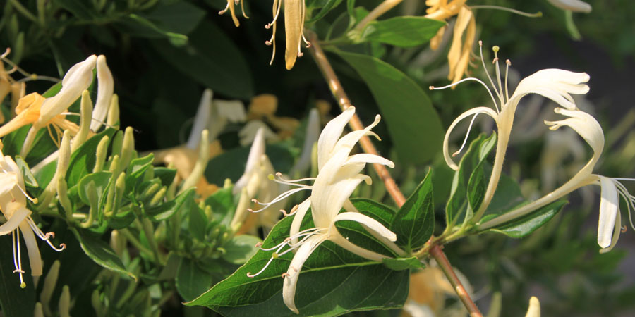white honeysuckle blooming
