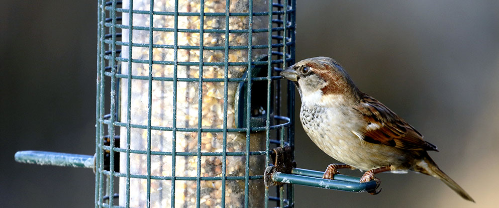 house sparrow at a bird feeder