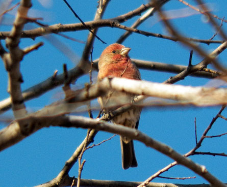 colorful male house finch