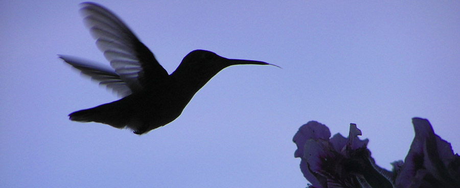 hummingbird sihlouette at dusk