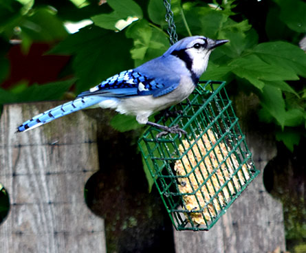 blue jay eating at a suet feeder