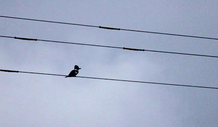 kingfisher bird on power line