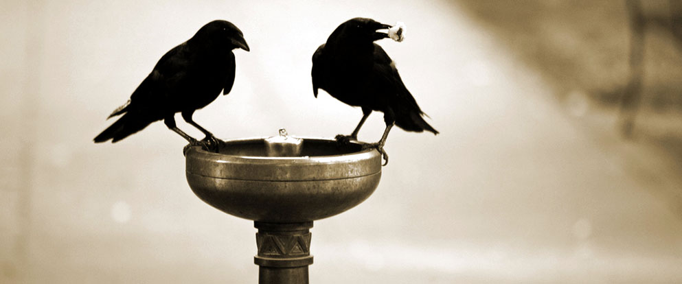 American Crows in a birdbath