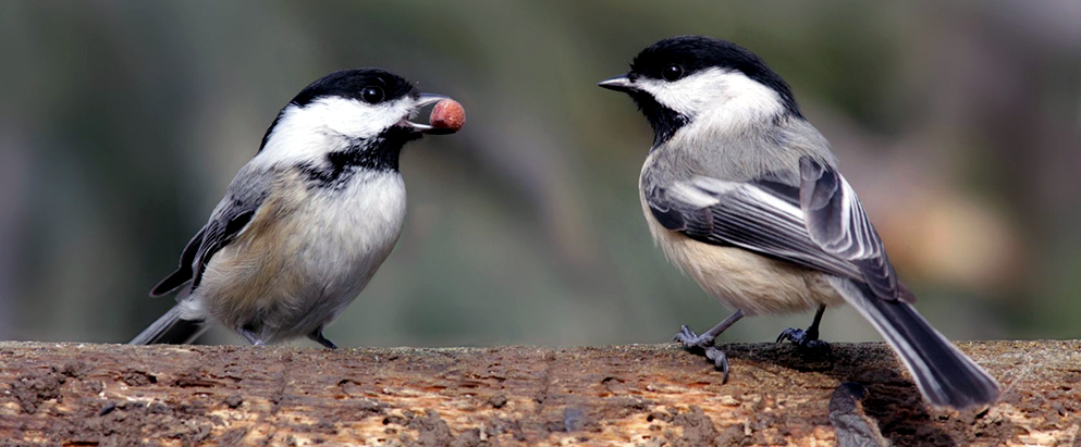 chickadee feeding his mate