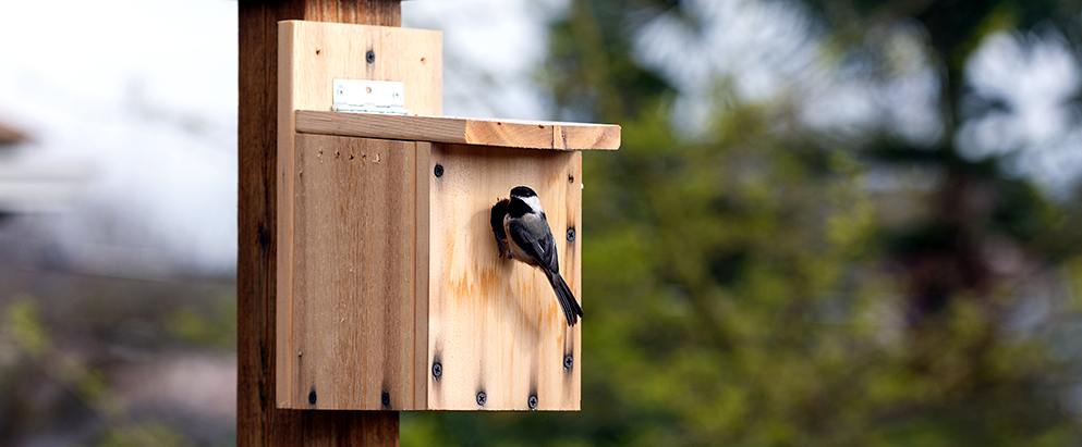 chickadee going into his birdhouse