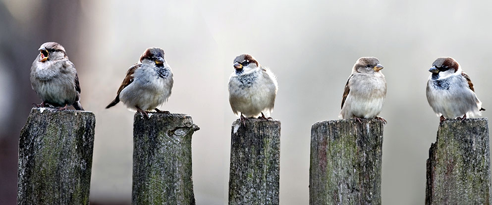 a row of house sparrows