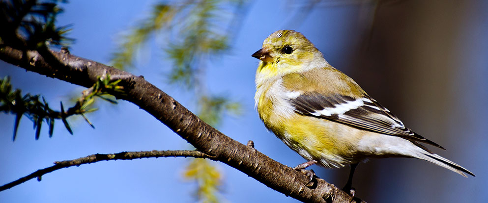 female american goldfinch molting