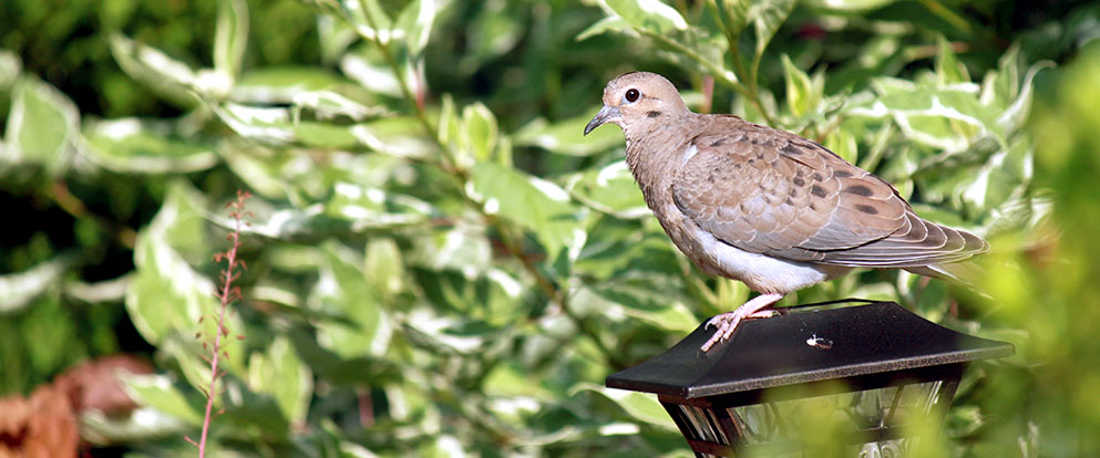 Mourning Dove on a light
